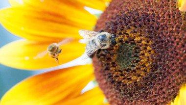 Oregon Bee
